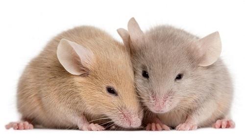 Старых мышей омолодили при помощи нового препарата
